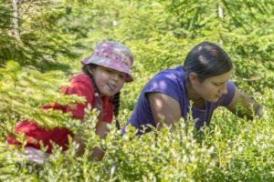 Picking blueberry