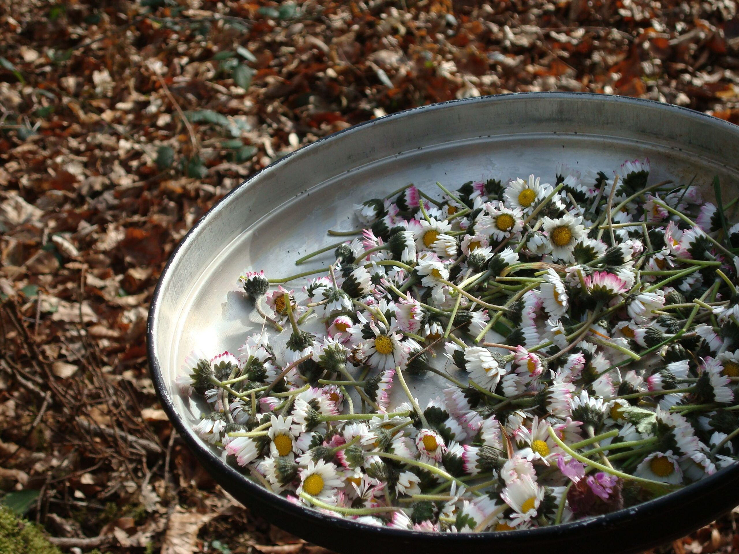 Pflanzen Gänseblümchensammmlung