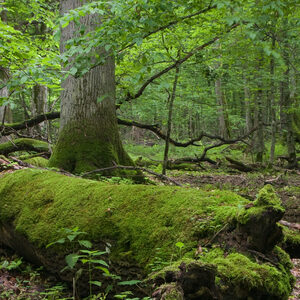 Fresh deciduous stand of Bialowieza Forest in springtime with dead broken oak in foreground, moss wrapped